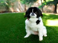 Lakeside Pet Turf Installation, Artificial Pet Turf Company